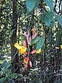 Thunbergia mysorensis 01.JPG