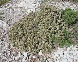 Thymelaea tartonrairia 3.jpg