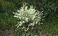 Thymus mastichina (mejorana) (28728971577).jpg