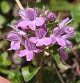Thymus quinquecostatus (flower).JPG