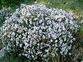 Thymus vulgaris 1 (Espagne).jpg