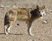 Picture of a wolf standing, turning its head at the camera