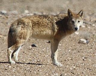 Tibetan wolf subspecies of mammal