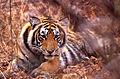 Tiger (Panthera tigris) juvenile (19647856508).jpg