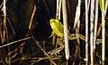 Tiigikonn - Pool frog - Rana lessonae.jpg