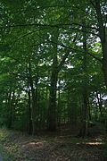 Tilia cordata memorial tree near natural monument Černá blata, Třebíč District.JPG