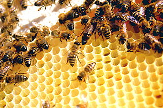 Kin selection - The co-operative behaviour of social insects like the honey bee can be explained by kin selection.