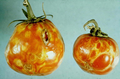 Tomato spotted wilt virus 5356805-PPT.png