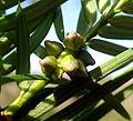Torreya californica kz2.JPG