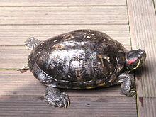 Tortue de floride wikip dia - Bassin tortue floride strasbourg ...