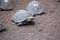 Tortugas en las islas Galápagos.jpg