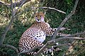 Trächtiges Gepard - Weibchen.jpg