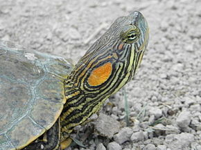 Description de l'image Trachemys gaigeae.jpeg.