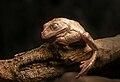 Trachycephalus mesophaeus Albine.jpg