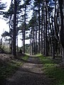 Trackway through Pinewoods at Holkham - geograph.org.uk - 443403.jpg
