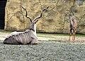 Tragelaphus strepsiceros Dvur zoo 2.jpg