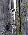 Tree Swallow (19248562416).jpg