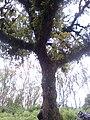 Tree kiranwayanad.jpg