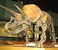 TriceratopsTyrrellMuseum1.jpg
