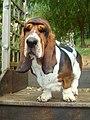 Tricolor basset-hound.jpg