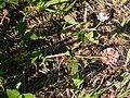 Trifolium hybridum (5155177896).jpg