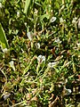 Trifolium monanthum 81735747.jpg