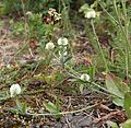 Trifolium montanum IMG 8831 bakkeklöver hovedöya.JPG