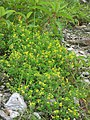 Trigonella emodi - Himalayan Fenugreek on way from Gangria to Valley of Flowers National Park - during LGFC - VOF 2019 (8).jpg