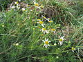 Tripleurospermum maritimum subsp inodorum plant1 (15756155564).jpg