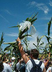Juillet 2004 à Menville: militants de la lutte anti-OGM brandissant des plants de maïs OGM qu'ils viennent d'arracher.