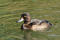 Tufted Duck female - Notsexminner.jpg