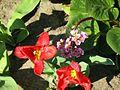 Tulipa gesneriana 6.jpg