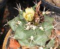 Turbinicarpus swobodae pm.jpg