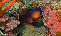 Twospined Angelfish (Centropyge bispinosa) and Threespot Squirrelfish (Sargocentron cornutum) (8502537035).jpg