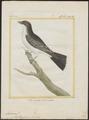 Tyrannus carolinensis - 1700-1880 - Print - Iconographia Zoologica - Special Collections University of Amsterdam - UBA01 IZ16500361.tif