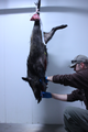 U.S. Air Force Master Sgt. Kristopher Worcester takes blood sample of a wild boar he killed outside Kaiserslautern to test for African Swine Fever, Germany, 2018-10-02.png