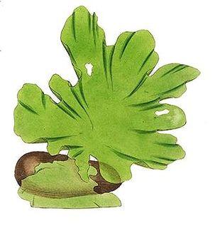 Sea lettuce Genus of seaweeds