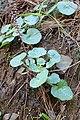 Umbilicus horizontalis kz01.jpg