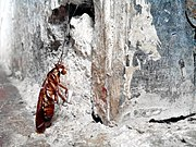 Una cucaracha americana y una araña de los terídidos (1431542940) San Sebastián, San José, Costa Rica.jpg