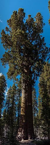 General Sherman (tree) - Wikipedia