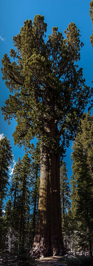 General Sherman (tree) - A view of the General Sherman, the largest single stem tree in the world