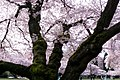 University of Washington Cherry Blossoms (33800023865).jpg