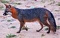 Urocyon cinereoargenteus False Cape State Park.jpg