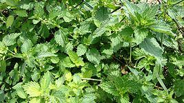 Urticaceae from Macedonia.jpg