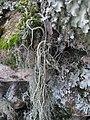 Usnea articulata (L.) Hoffm 298049.jpg