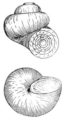 Valvata piscinalis drawing.jpg