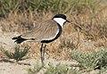Vanellus spinosus - Spur-winged Lapwing 01.jpg