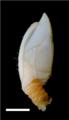 Verum novaezelandiae Griffiths.png