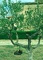 Viana-04-Schuhe auf Oelbaum-2001-gje.jpg