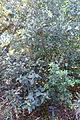 Viburnum tinus subsp. rigidum (Viburnum rigidum) - Jardín Botánico de Barcelona - Barcelona, Spain - DSC09172.JPG